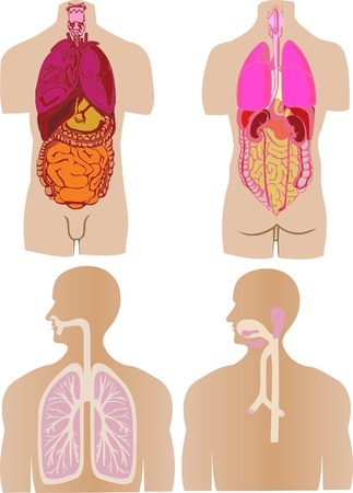 gut: Vector set  a stomach of a gut a liver of the person