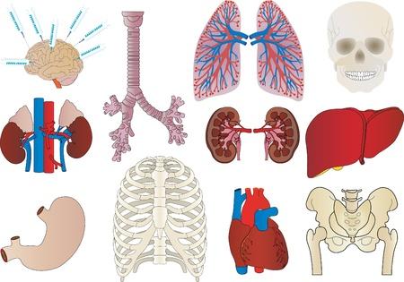 신장, 간, 기관지, 위장, 심장의 사람의 내부 집합 벡터