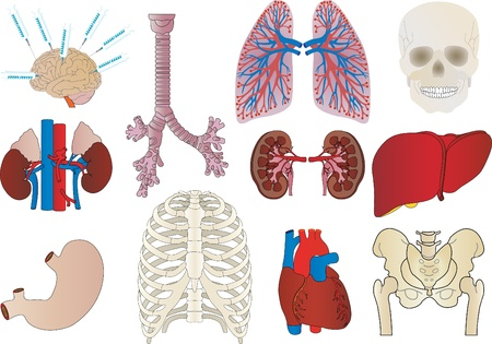 Vector a set of an internal of the person of a kidney, a liver, a trachea, a stomach, heart  Vector