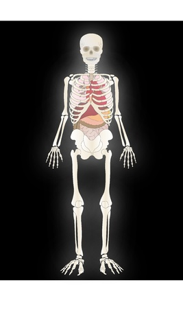 Vector the Skeleton of the person with an internal  Иллюстрация