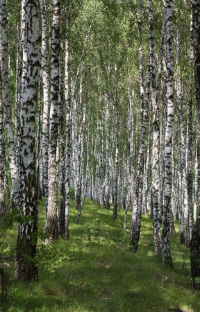 Photo a landscape a birchwood in the summer Stock Photo - 10075284
