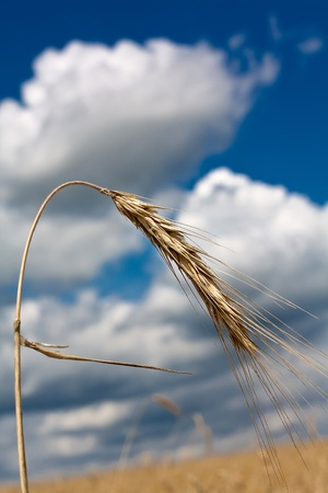 Ears of wheat against the blue sky and clouds Stock Photo