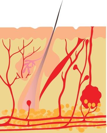 nervenzelle: Menschliche Haut Anatomy