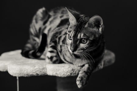 bengalcat kitten brown spotted bengal Stock Photo