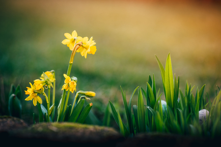 narcissus flowers on the spring background