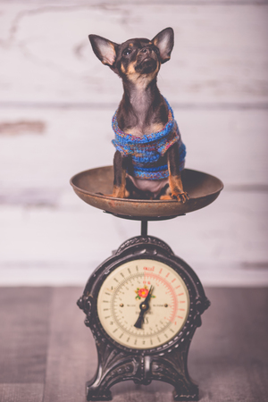 little chihuahua puppy on the weight Stock Photo