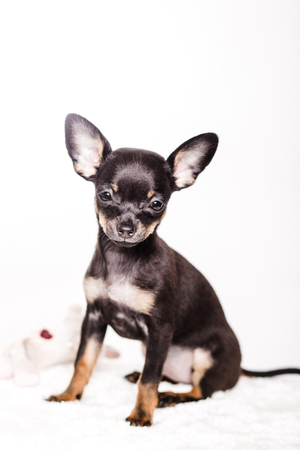 little chihuahua puppy on the background