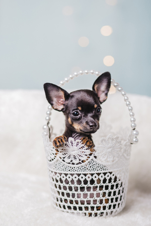 little chihuahua puppy in the gift box