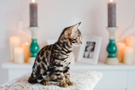 bengal cats babys leopard kitten Stock Photo
