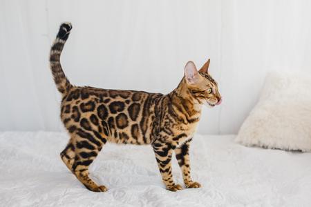 Bengal cat brown spotted pets Foto de archivo