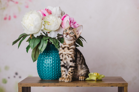 bengal baby kitten brown spotted