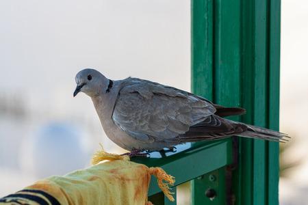 canarias: Canarias pigeon Stock Photo