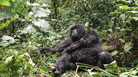 Giant silverback female mountain lowland gorilla at Virunga National Park in Con, Uganda,Rwanda sits in the jungles, wildlife in Africa, endangered and protected mammal, animal's rights