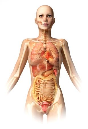 colon: Donna, corpo, con scheletro osseo e tutti gli organi interni sovrapposti. Anatomia immagine.