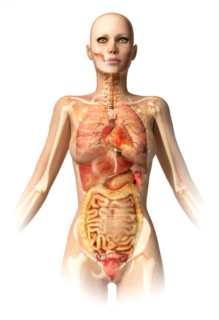 duodenum: Woman body, with bone skeleton and all interior organs superimposed. Anatomy image.