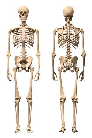 esqueleto humano: Esqueleto humano masculino, dos puntos de vista, delantera y trasera. Científicamente correcta, realistas en 3-D de procesamiento. Foto de archivo