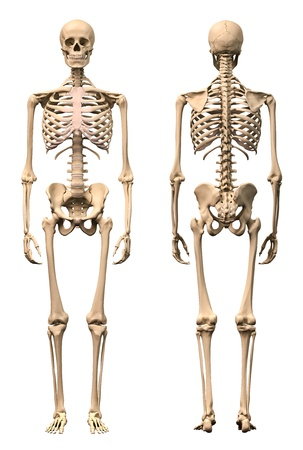 hand on hip: Male Human skeleton, two views, front and back. Scientifically correct, photorealistic 3-D rendering.