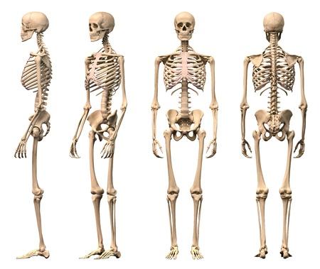 esqueleto humano: Esqueleto humano de sexo masculino, cuatro puntos de vista, frontal, posterior, lateral y en perspectiva. Científicamente correcta, fotorrealista 3-D.