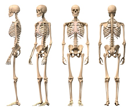 Male Human skeleton, four views, front, back, side and perspective. Scientifically correct, photorealistic 3-D rendering.  Stock Photo