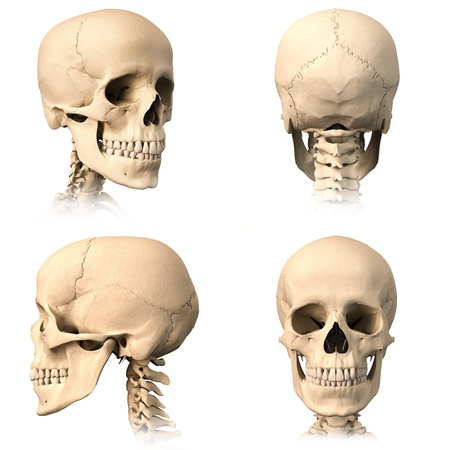 anatomical model: Very detailed and scientifically correct human skull. Three orthogonal views, plus perspective, on white background. Anatomy image.