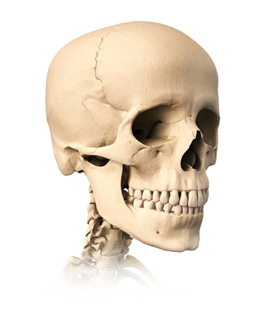 Very detailed and scientifically correct human skull, on white background. Anatomy image. photo