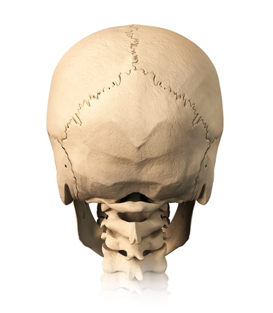 Very detailed and scientifically correct human skull. back view, on white background. Anatomy image. photo