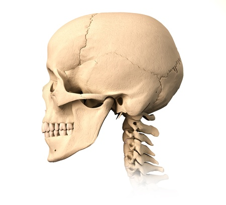 scientifically: Very detailed and scientifically correct human skull. side view, on white background. Anatomy image. Stock Photo