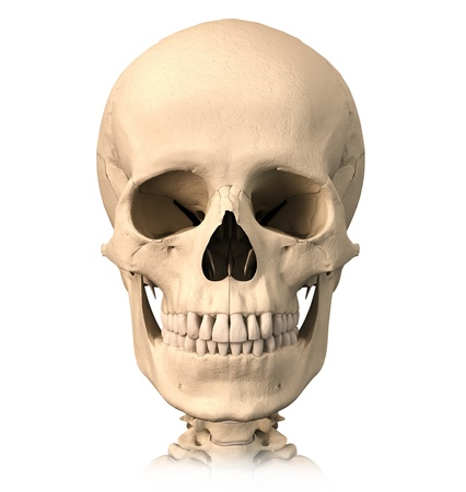Very detailed and scientifically correct, human skull, front view. Anatomy image.  photo