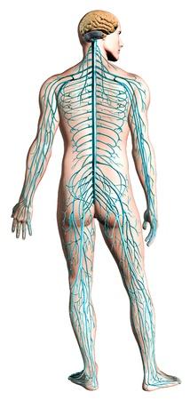 mediaan: Menselijk zenuwstelsel diagram. Anatomie doorsnede Stockfoto