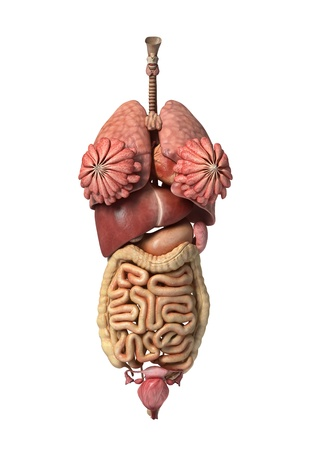 Photorealistic 3D rendering, of Female full internal organs, front view.