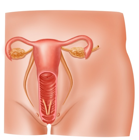 Anatomy Female Reproductive System Cross Section Stock Photo ...