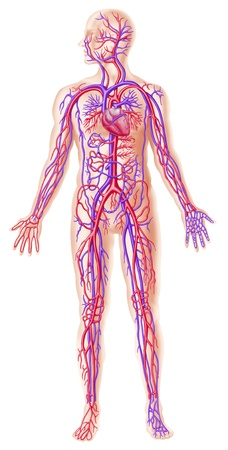 blood flow: Human circolatory system cross section