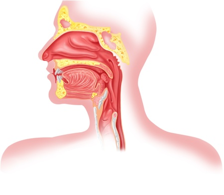 mouth cavity: Human respiratory system cross section, head part. Stock Photo
