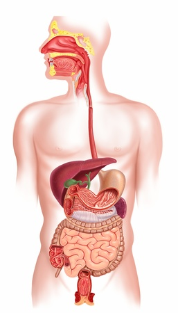 hepatic: Human digestive system cross section