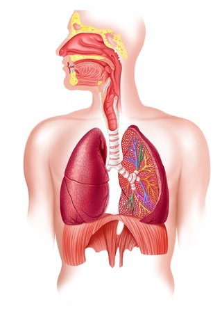 respiratory: Human full respiratory system cross section Stock Photo