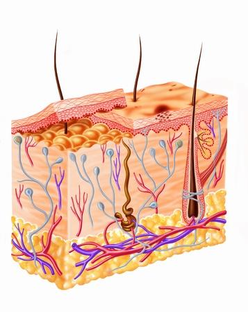 epiderme: Human sch�ma coupe de peau