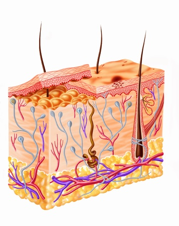 sebaceous: Human skin section diagram Stock Photo