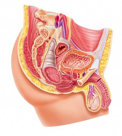 uretra: Anatomía sistema reproductor masculino, corte.