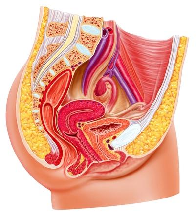 sistema reproductor femenino: Anatomía del sistema reproductor femenino, corte. Foto de archivo