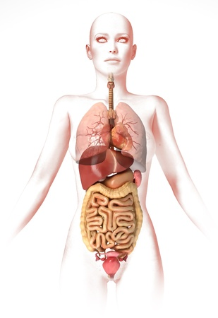 digestive system: Woman body, with interior organs. Anatomy image, stylized look. Clipping path included.