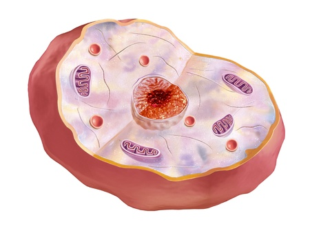 doku: Human cell, anatomy image. 2 D illustration, on white background.