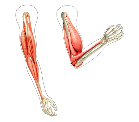 elbows: Human arms anatomy diagram, showing bones and muscles while flexing. 2 D digital illustration, On white background.