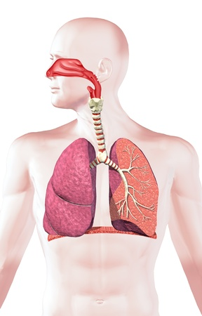 Human respiratory system, cross section. On white background, with clipping path.