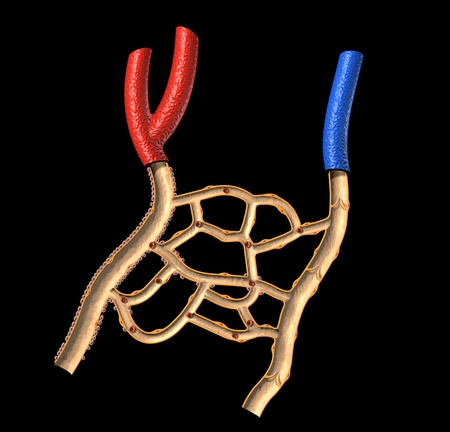 Human veins and arteries cutaway diagram, on black background, with clipping path. photo