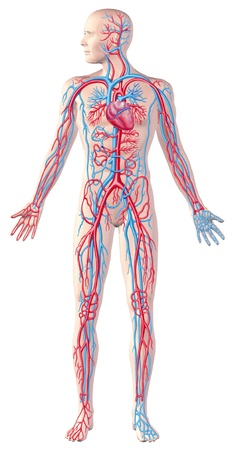 Human circulatory system, full figure, cutaway anatomy illustration Stock Photo