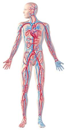 vasos sanguineos: Sistema circulatorio humano, de cuerpo entero, ilustración de corte anatomía, con trazado de recorte incluido.