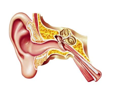 인간의 귀 장면 전환도. 해부학 그림입니다. 스톡 콘텐츠