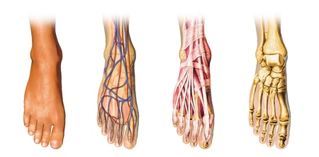 podiatry: Human foot anatomy cutaway representation, showing skin, veins and arterias, muscles, bones. With clipping path included.