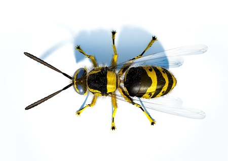 detailed view: Hornet wasp on white surface viewed from the top.