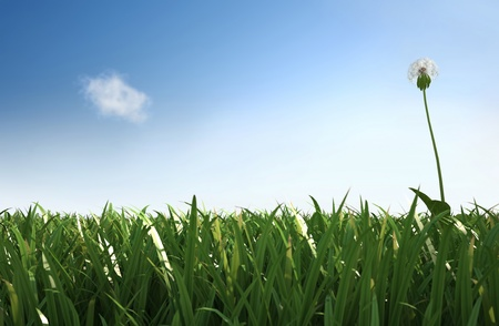 Isolated dandelion in the grass, standing on the right hand side of the scene, lateral view with close grass. photo